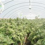 Cann Group secures Australia's largest medicinal cannabis operation