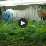 On the Verge of Becoming Canada's Largest Cannabis Producer