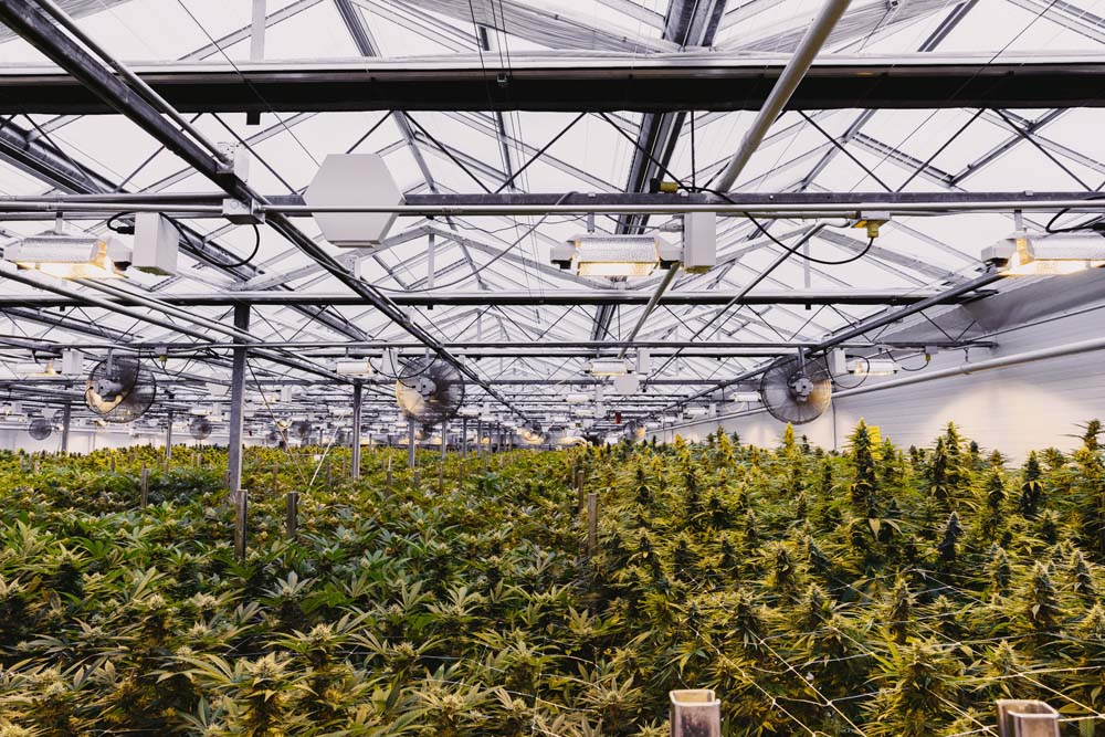 Canopy Growth Losses Widen Sharply, But Cannabis Sales Prices Spike