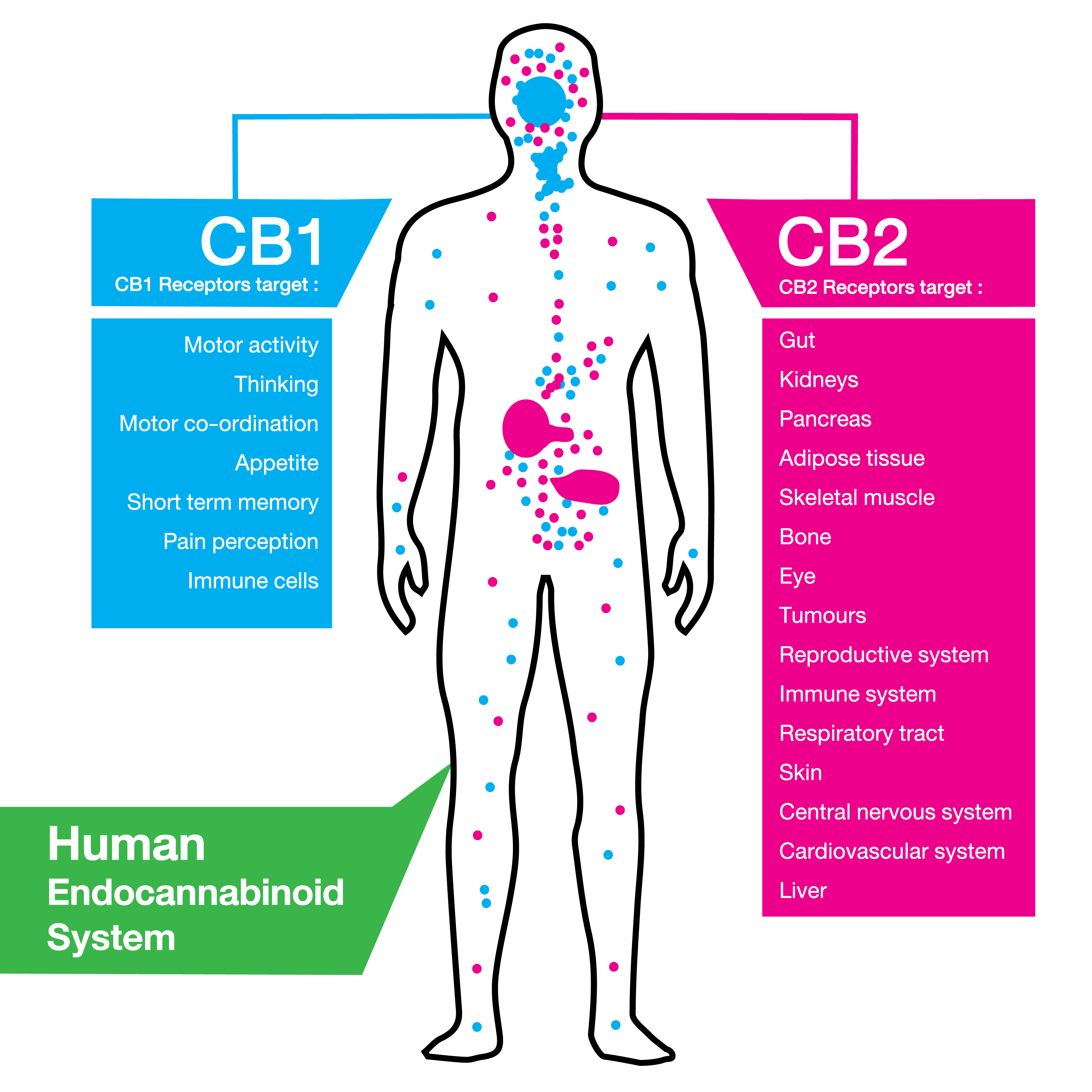 Cannabidiol does not actually bind with CB1 or CB2 receptors in the human endocannabinoid system.